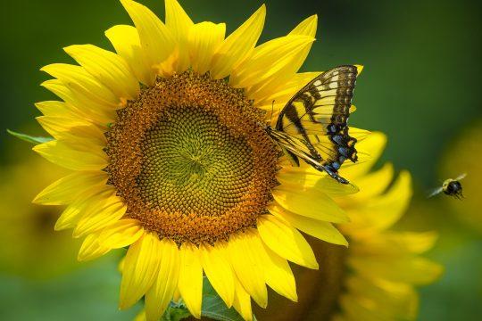 Ein Schmetterling sitzt auf einer Sonnenblume.